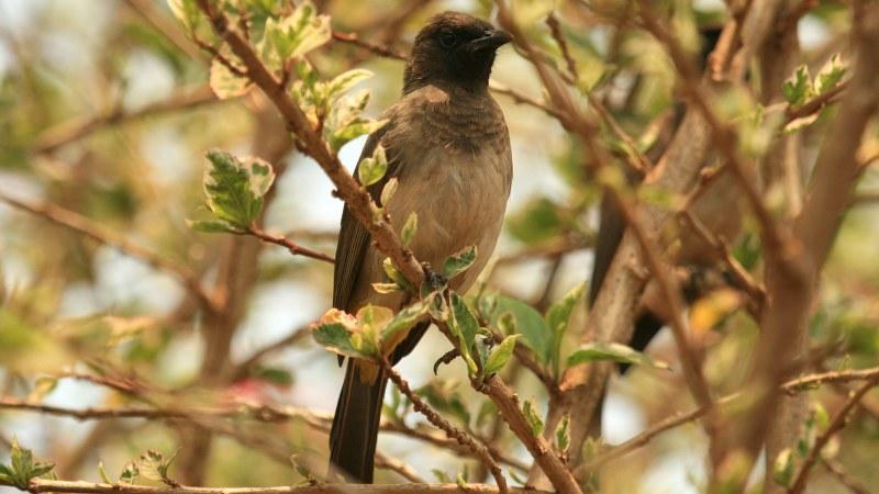 Pycnonotus_tricolor_13