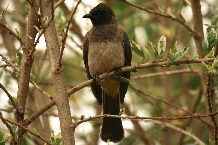 pycnonotus_tricolor_1642_900x600