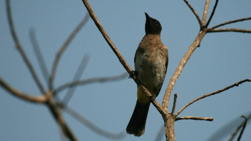 Pycnonotus_tricolor_09