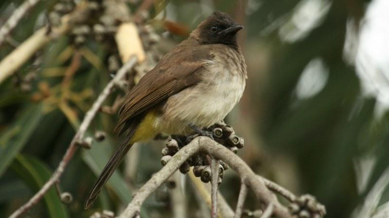 Pycnonotus_tricolor_10