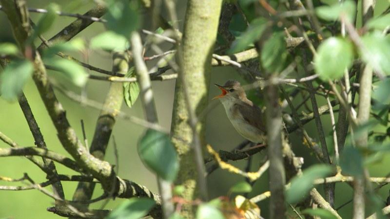Acrocephalus_palustris_04