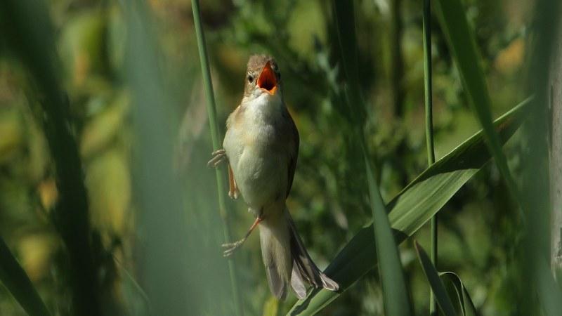 Acrocephalus_palustris_06