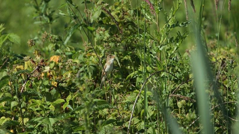 Acrocephalus_palustris_01