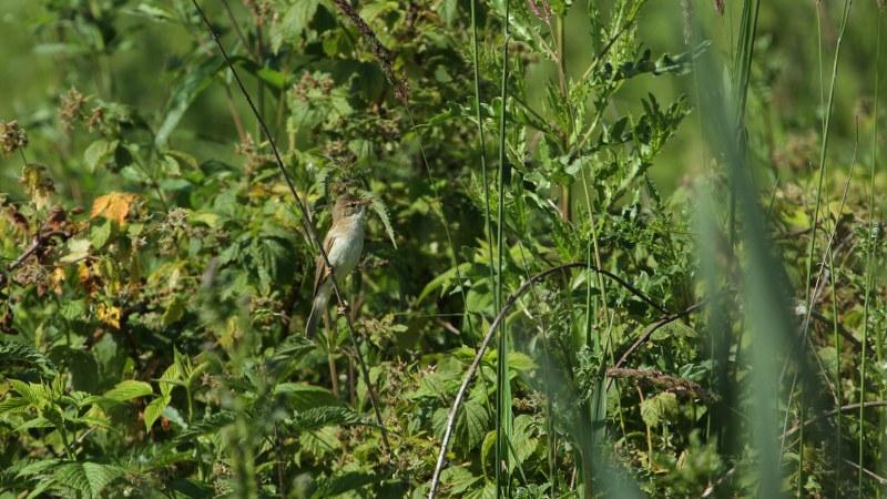Acrocephalus_palustris_02