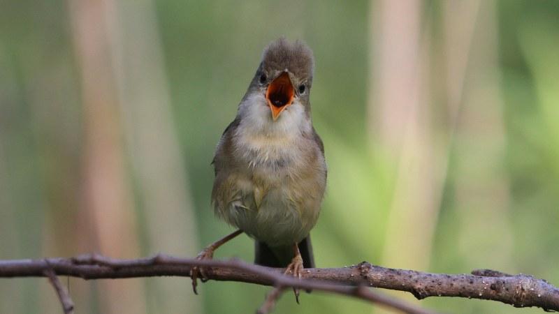 Acrocephalus_palustris_56