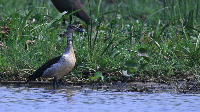 Sarkidiornis_melanotos_01