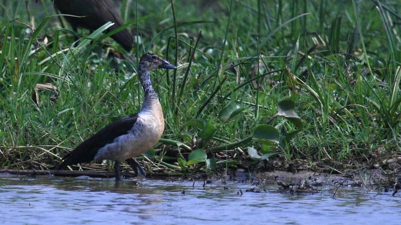 Sarkidiornis_melanotos_02