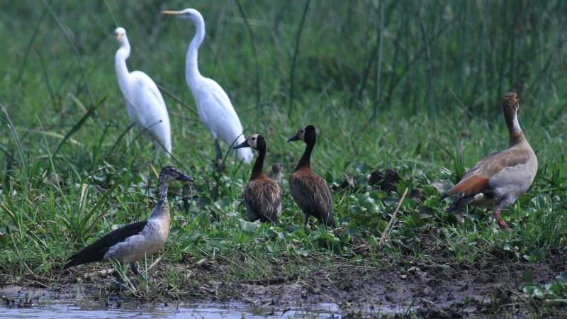 Sarkidiornis_melanotos_03