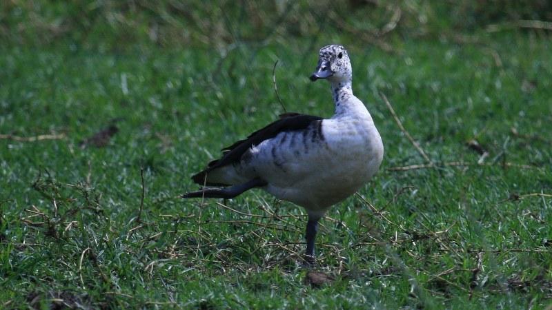 Sarkidiornis_melanotos_05