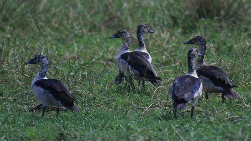 Sarkidiornis_melanotos_06