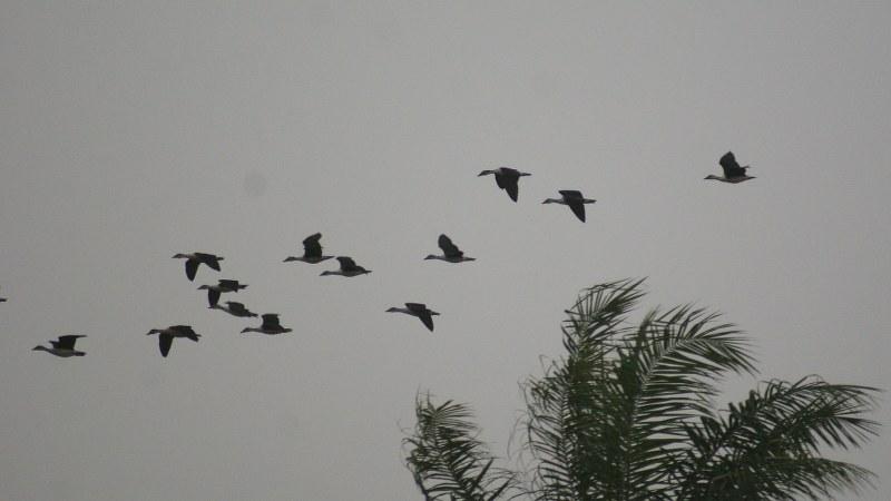 Sarkidiornis_melanotos_07