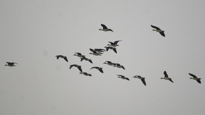 Sarkidiornis_melanotos_08