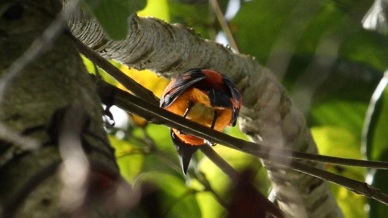 Pericrocotus_flammeus_08