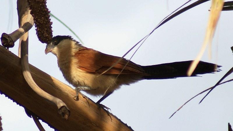 Centropus_senegalensis_02