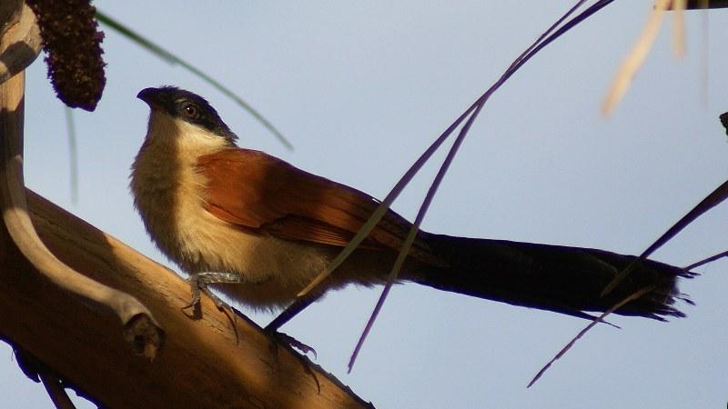 Centropus_senegalensis_03