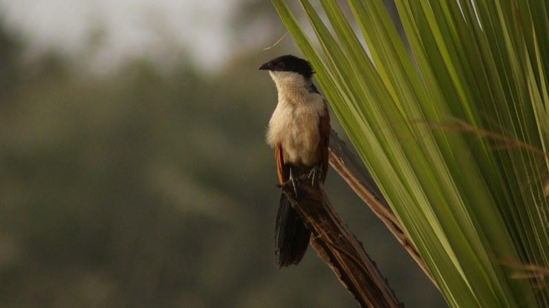 Centropus_senegalensis_04