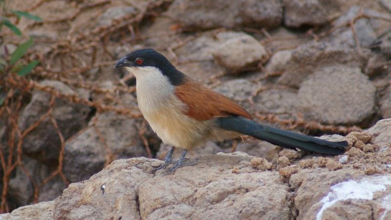 Centropus_senegalensis_08