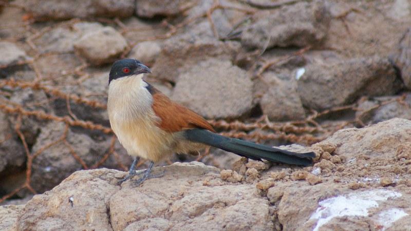 Centropus_senegalensis_09