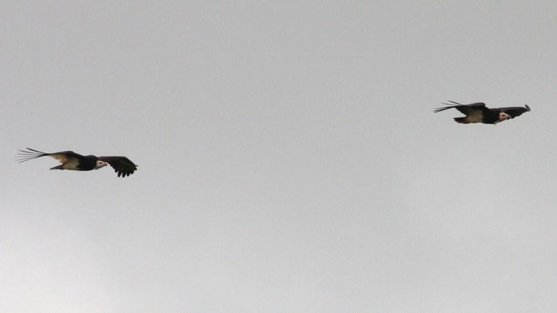 Trigonoceps_occipitalis_01