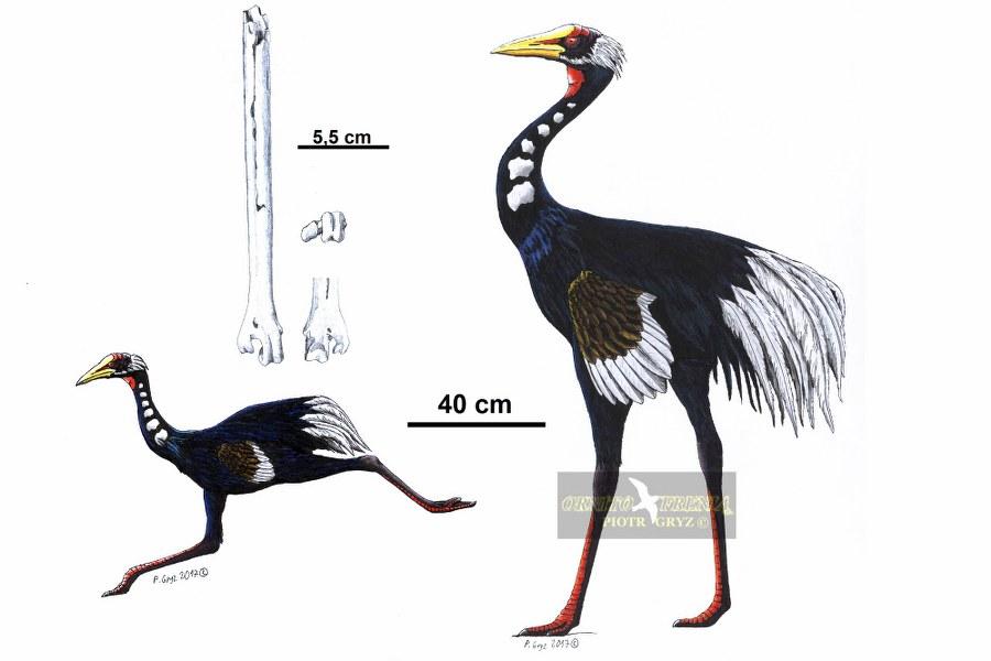ergiliornis_rapidus_OKK_900x600