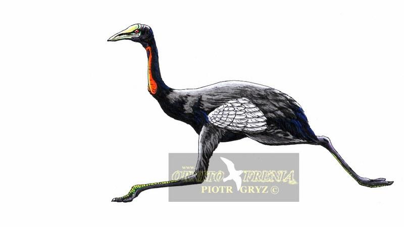 Urmiornis_orientalis_08