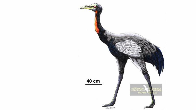 Urmiornis_orientalis_07