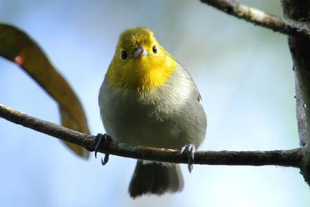 Platynka żółtogłowa