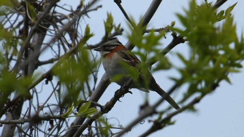 Zonotrichia_capensis_04