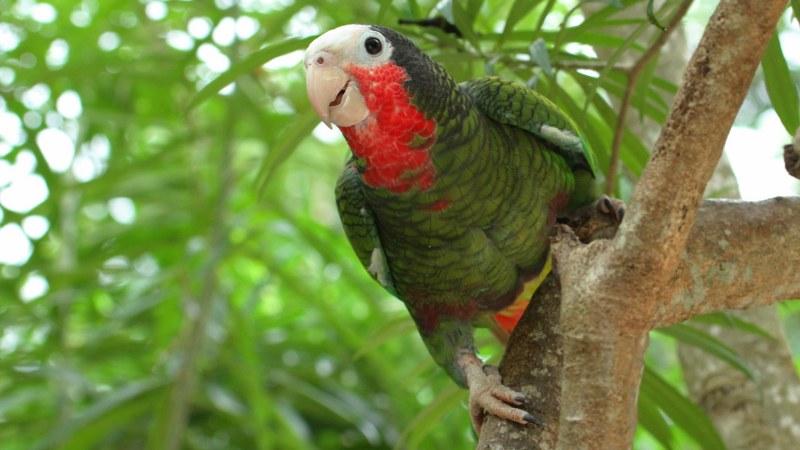 Amazona_leucocephalus_01