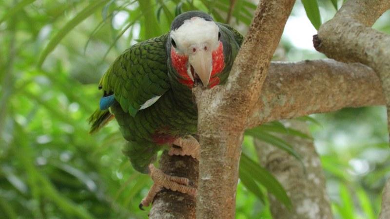 Amazona_leucocephalus_05