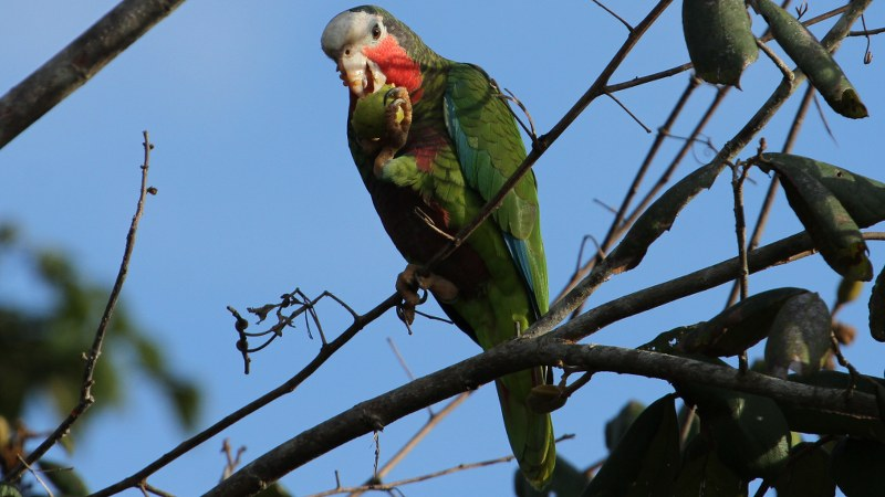 Amazona_leucocephalus_17