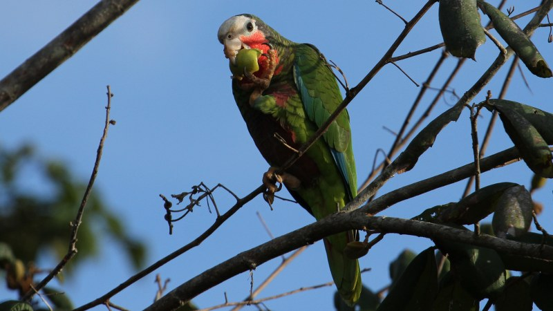 Amazona_leucocephalus_18