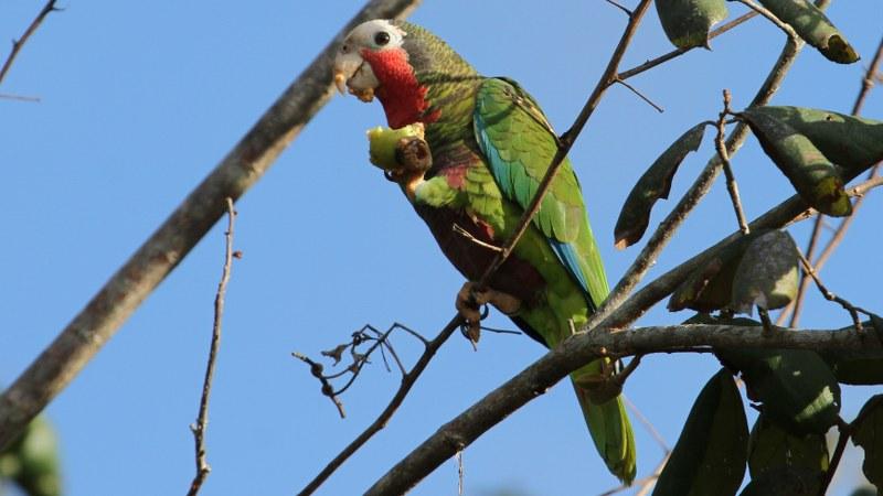 Amazona_leucocephalus_23