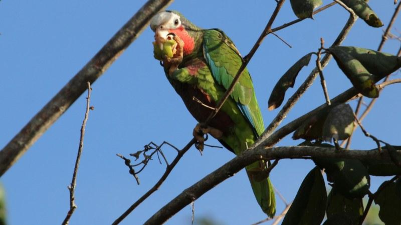 Amazona_leucocephalus_25