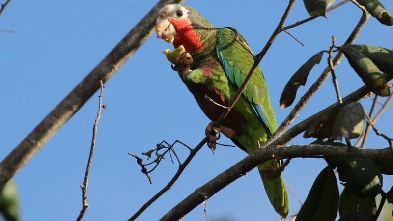 Amazona_leucocephalus_24