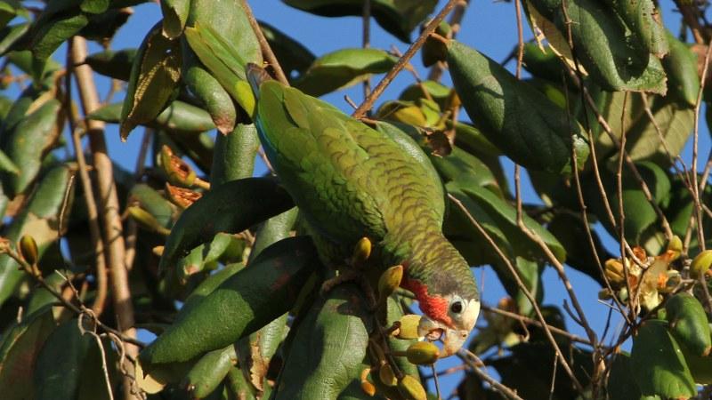 Amazona_leucocephalus_28