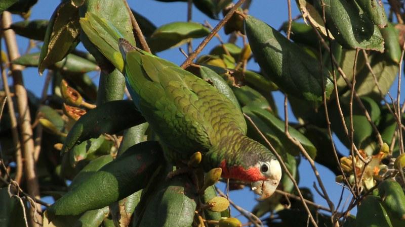 Amazona_leucocephalus_29