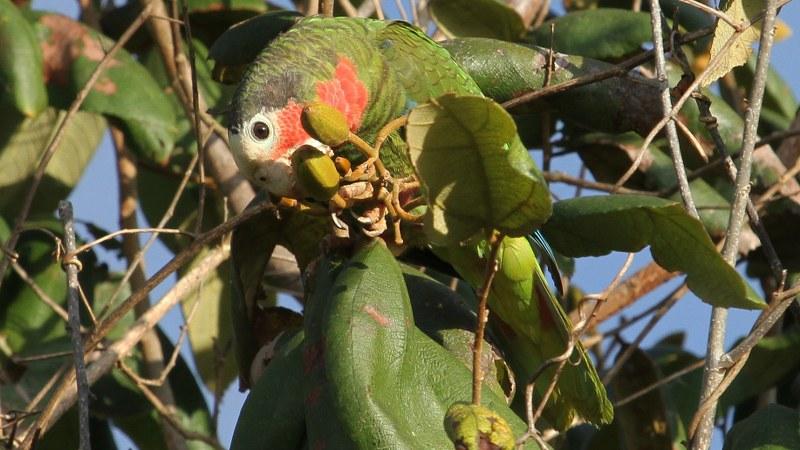 Amazona_leucocephalus_32