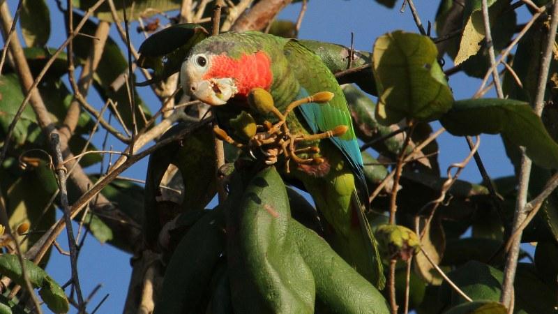 Amazona_leucocephalus_33