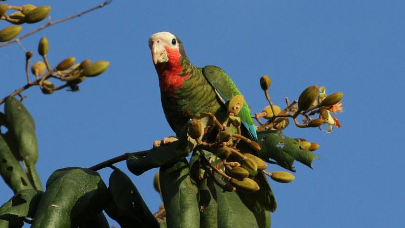 Amazona_leucocephalus_34