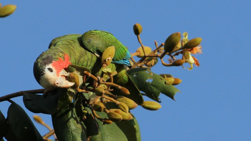 Amazona_leucocephalus_35