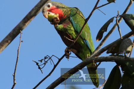 Amazonka kubańska