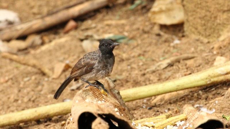 Pycnonotus_cafer_24