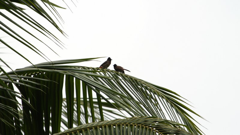 Pycnonotus_cafer_13