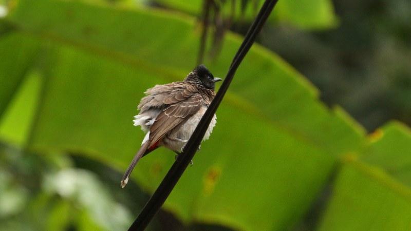 Pycnonotus_cafer_04
