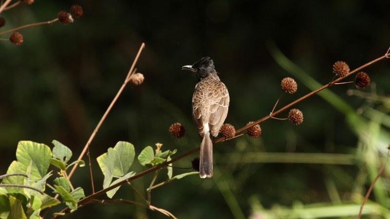 Pycnonotus_cafer_16