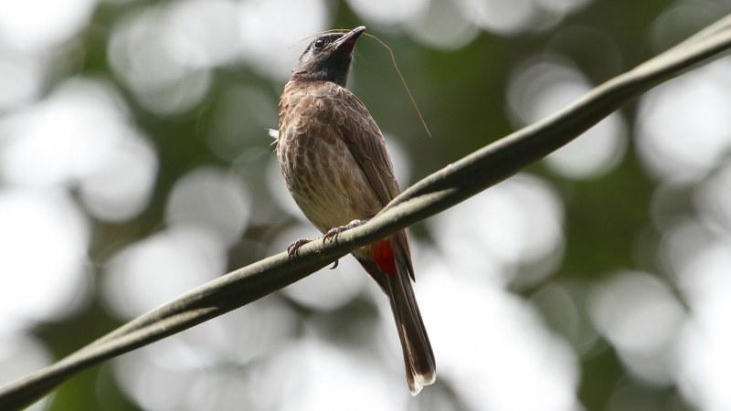 Pycnonotus_cafer_22