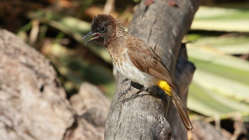 Pycnonotus_dodsoni_14