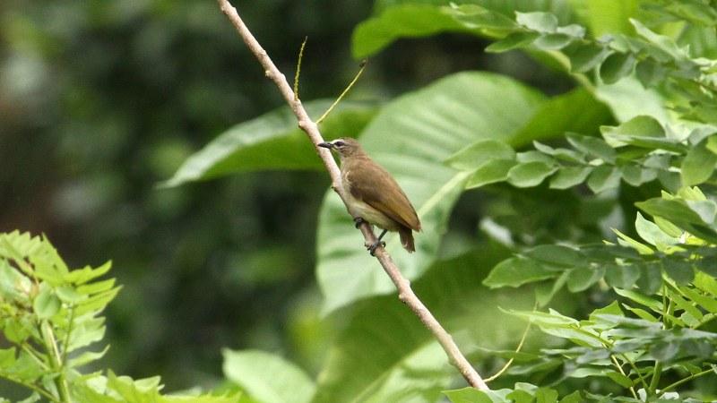 Pycnonotus_luteolus_02
