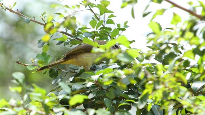 Pycnonotus_luteolus_05
